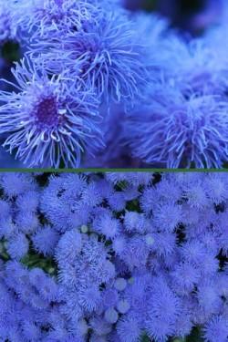 Агератум мексиканский Голубое море