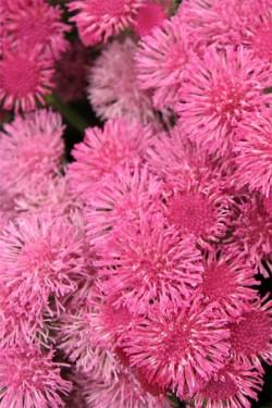Агератум мексиканский Розовое море