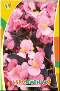 Бегония Аккорд светло-розовая