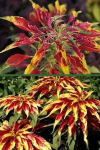 Амарант трехцветный Иллюминация