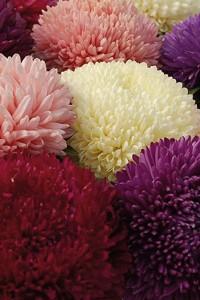Астра Баллон разноцветный смесь