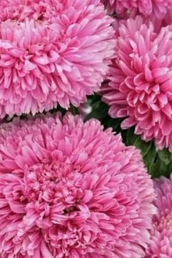 Астра Баллон розовый
