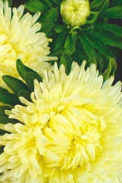 Астра Карликовая Желтый бархат