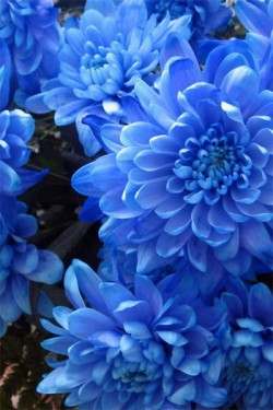 Астра Карликовая Голубая мечта