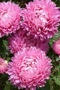 Астра Карликовая Розовое очарование