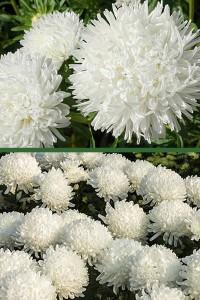 Астра Карликовая Белая красавица