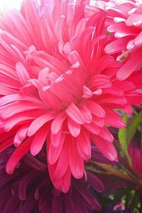 Астра Прекрасный день Розовый