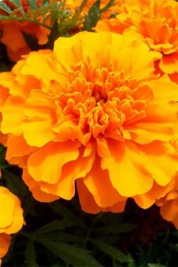 Бархатцы отклоненные Оранжевый малыш
