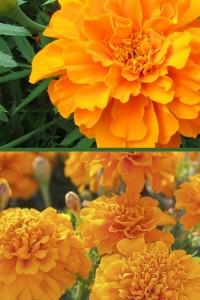 Бархатцы отклоненные Петит оранжевый