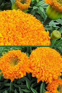 Бархатцы прямостоячие Оранжевый Купидон