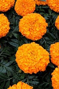 Бархатцы прямостоячие Оранжевый принц