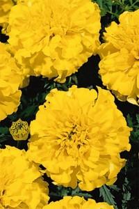 Бархатцы прямостоячие Золотой Купидон (желтый)