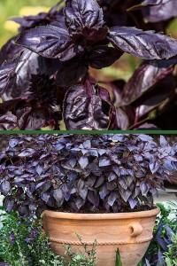 Базилик овощной Робин Гуд