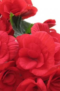 Бегония крупноцветковая Камелия красная