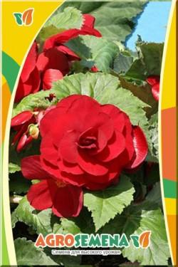 Бегония Темно-Красная клубневая крупноцветковая