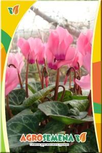 Цикламен Лососево-розовый