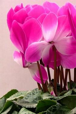 Цикламен персидский Пурпурный