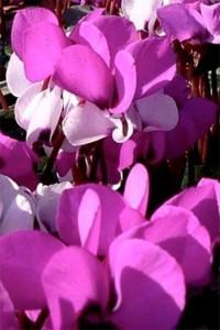 Цикламен персидский Розовый с глазком