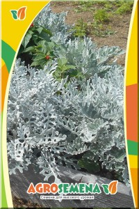Цинерария приморская Серебристый карлик