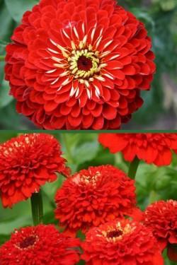 Цинния изящная Лилипутовая Красная шапочка