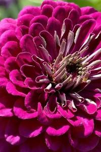 Цинния Крупноцветковая пурпурная