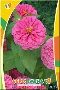 Цинния Крупноцветковая розовая