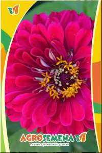 Цинния Крупноцветковая винно-красная