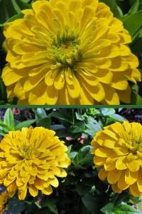 Цинния Крупноцветковая желтая