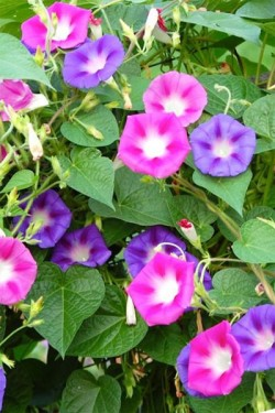 Фарбитис пурпурный Фейерверк