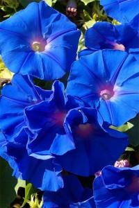 Фарбитис пурпурный Голубое небо