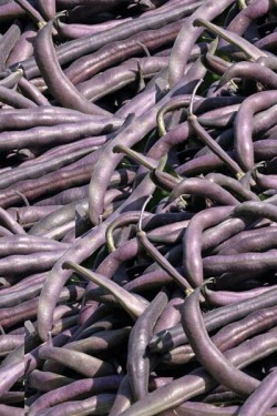 Фасоль спаржевая Пурпурная королева