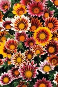 Гацания крупноцветковая Муза