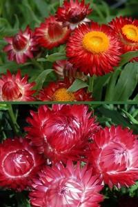 Гелихризум прицветниковый Красный