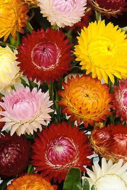 Гелихризум прицветниковый Крупноцветковый