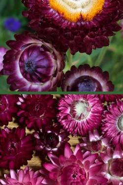 Гелихризум прицветниковый Пурпурный