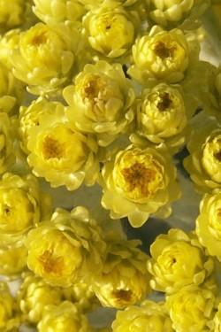 Гелихризум прицветниковый Желтый