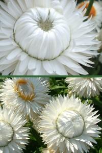Гелихризум прицветниковый белый