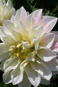 Георгина Фигаро махровая белая