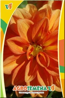 Георгина Фигаро махровая оранжевая