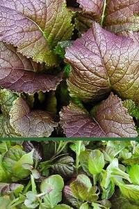 Горчица листовая Аппетитная
