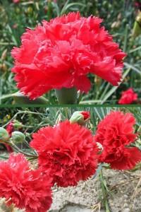 Гвоздика садовая Шабо Алая