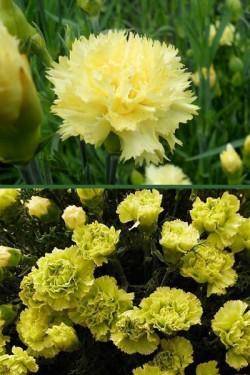 Гвоздика садовая Шабо желтая