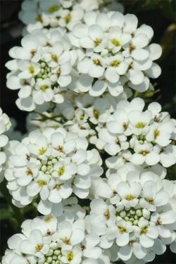 Иберис вечнозеленый Снегопад