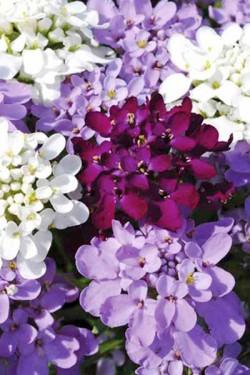 Иберис Самоцветы