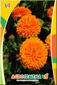 Календулa Оранжевые шары
