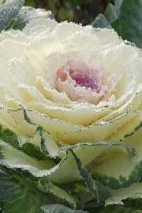 Капуста декоративная Северная роза