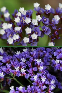 Кермек выемчатый Сиреневая роса (темно-синий)