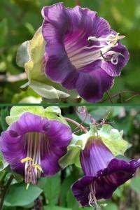 Кобея цепкая фиолетовая