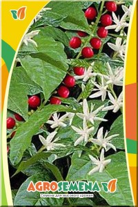Кофе аравийский карликовый Альберт