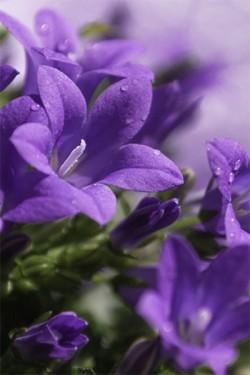 Колокольчик сборный Фиолетово-синий
